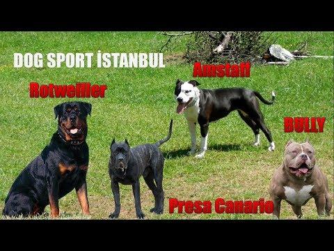 Dog Sport İstanbul- BULLY-ROTWEİLLER-PRESA CANARİO -AMSTAFF