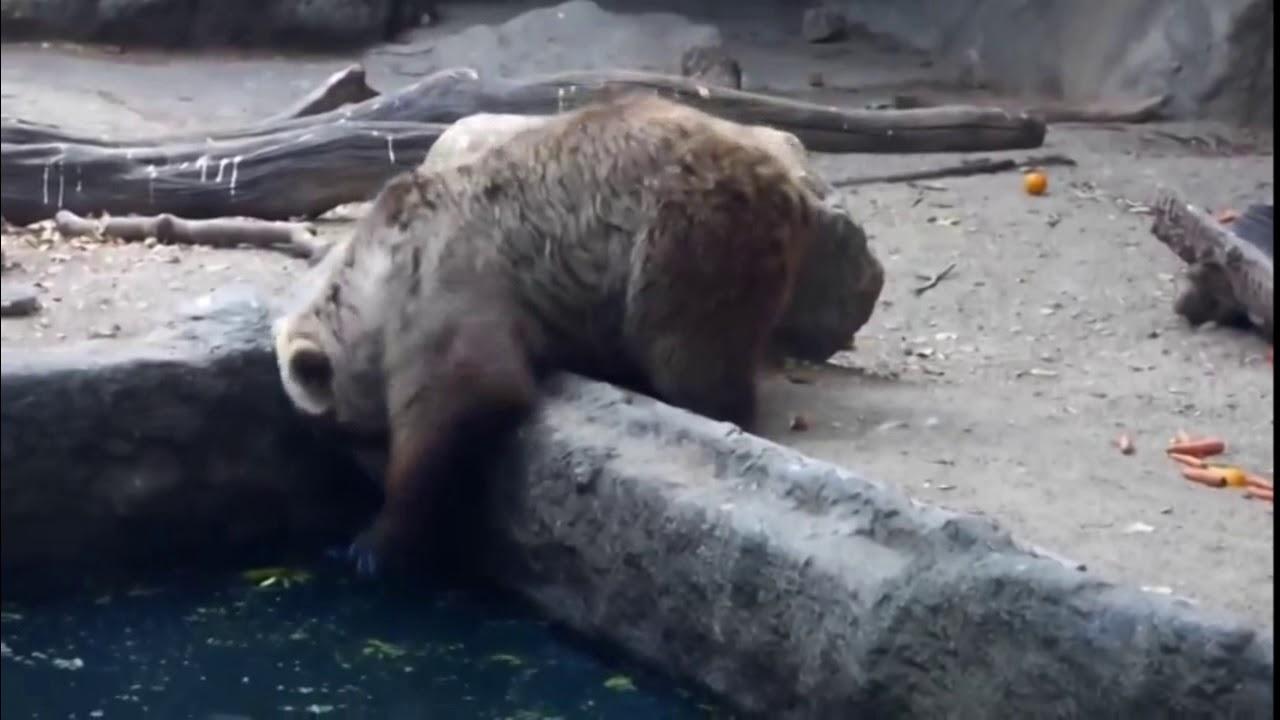 Ayı kargayı kurtardı  the bear crow recovery