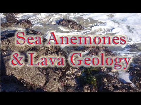 Sea Anemones and Lava Geology