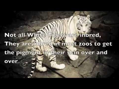 White Tigers Photo Essay by Jadon Blouin
