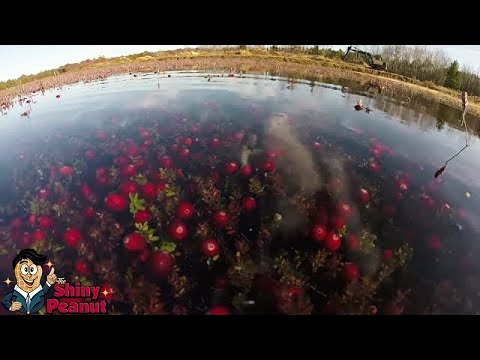 Tumbuh Dalam Air? Inilah Proses Panen Buah Cantik Cranberry