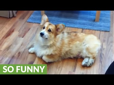 Corgi has unique strategy to avoid going outside