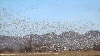 Snow Geese in California Rice Country