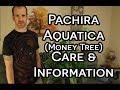 Pachira Aquatica (Money Tree) Information & Care