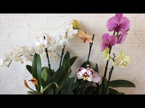 Завоз орхидей от 13.02.19г. Уцененные Фаленопсисы и каттлеи.