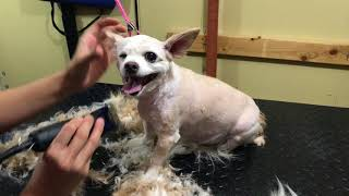 How to Groom a Long haired Chihuahua full groom