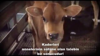 gizli kameradan süt endüstrisine bakış (veganoloji)