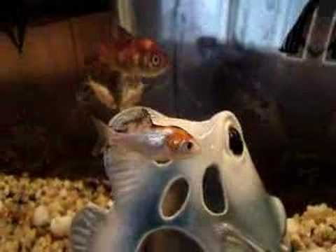 Goldfish Changing Color