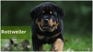Rottweiler | Pets | Dog Breeds | Dog Profiles