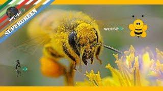 6 of 10 - Apicoltura - Come estrarre il polline da un arnia e come avviene la scelta dell'ape regina