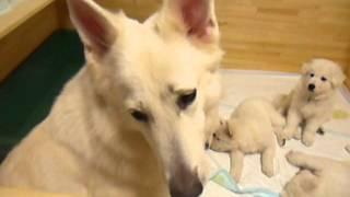 ホワイトスイスシェパード母犬のマズルコントロールH24.10.18