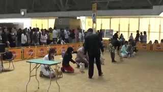 Kinki international dog show digest 【Chihuahua】