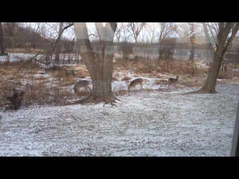 Brando Deer 2