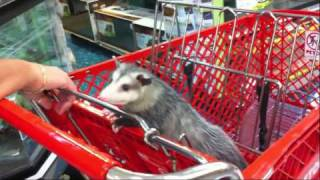 Possum Posse Sookie and Mommy shop at Petco