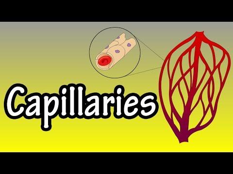 Capillaries - What Are Capillaries - Functions Of Capillaries