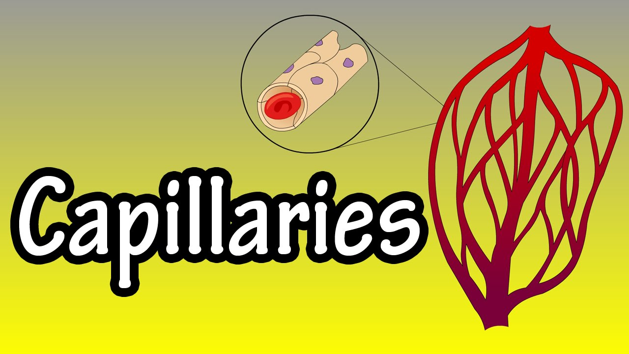 Capillaries What Are Capillaries Functions Of Capillaries Youtube
