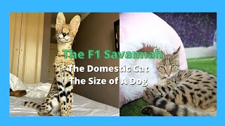 F1 Savannah Cats  Half Serval Cat  & Half Domestic Exotic Cats (2021)