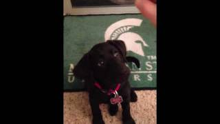 Puppy Clicker Training: 10 Week Old Black Lab, Part 4
