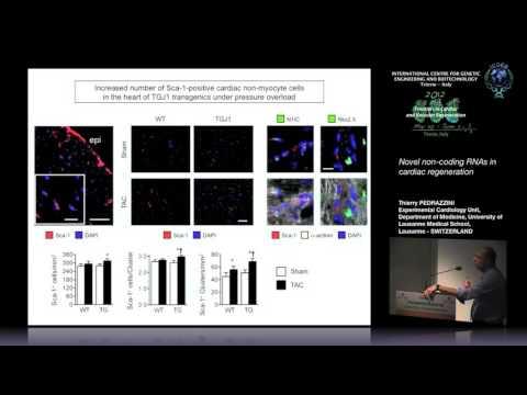 T. Pedrazzini - Novel non-coding RNAs in cardiac regeneration