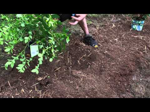 Planting Blueberry Plants