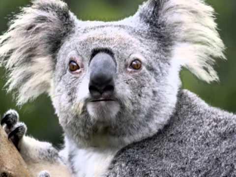 Cute Baby Polar Bear Wallpaper Panda Vs Koala Youtube