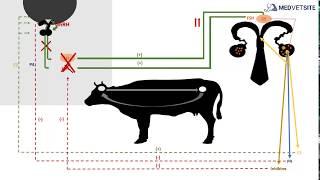 COW REPRODUCTIVE HORMONES