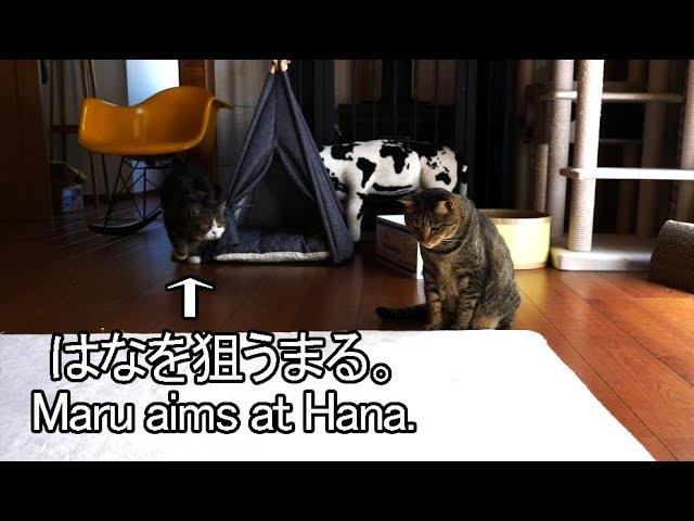 はなが遊ぶと突進してくるまる-when-hana-plays-maru-rushes-into-her
