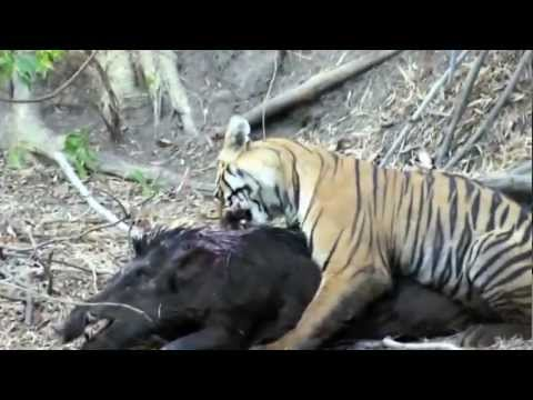 Small Sub-Adult Tiger hunting Huge Male Wild Boar