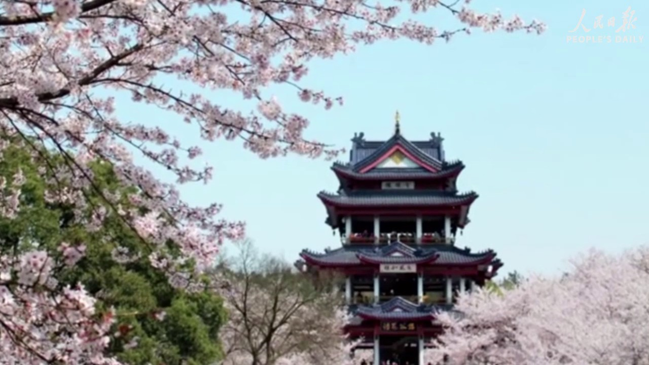 from north to south cherry blossoms can be seen across china as