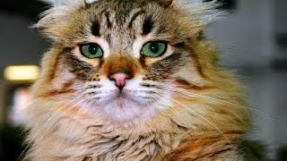 Animal Planet  :  Cats 101 ~  American Curl