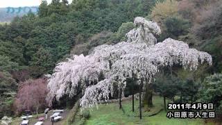 樹齢340年の巨木、長興山紹太寺のしだれ桜が見ごろ