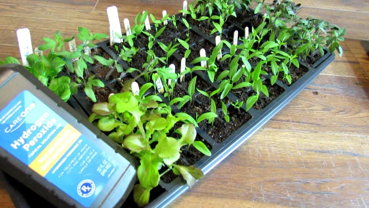 How to Use Hydrogen Peroxide with Tomato Seed Starts to Manage Fungi, Molds & Fungus Gnats:
