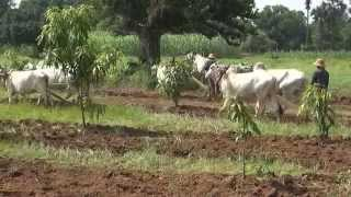 Birmanie (Myanmar) - Travaux des champs (2)