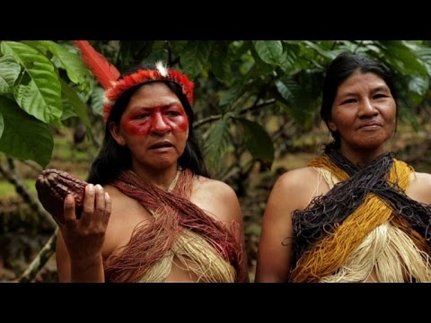 Ecuador tribe swaps hunting for cocoa farming to save forest