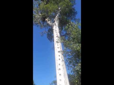Pohon Angker Di Kalimantan Timur