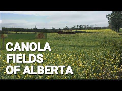 Canola Fields Of Alberta, Canada