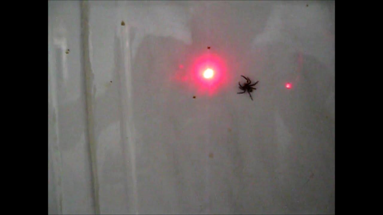 jumping spider vs laser pointer youtube