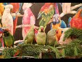 Александрийский попугай кушает хвою ! Parrot