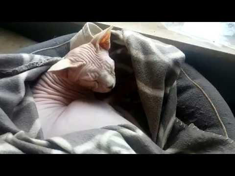 Rencontre : Hestia Le Sphynx Et Bulle L'abyssin