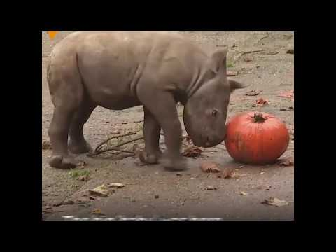 Rhinoceros And Pumpkin