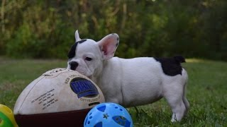 French Bulldog Puppies for Sale in Florida, French Bulldog Puppies for Sale Tampa in Florida