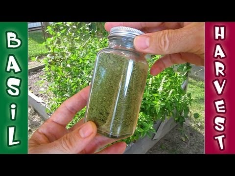 Basil Harvest - Drying Grinding Processing Fresh Herbs Raw Food Organic Gardening