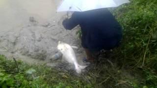 Patin Megatron: Penghuni Sungai Langat (Banting)...pechah rekod tergempar 27/10/2011