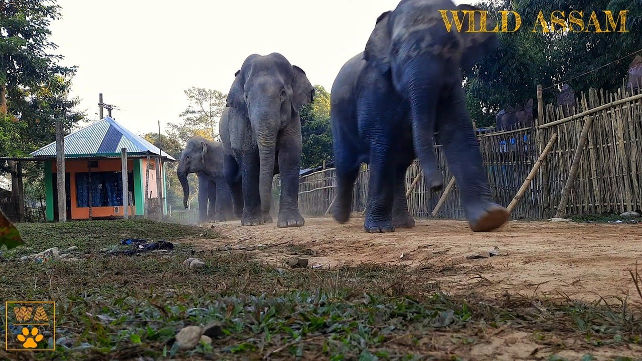 ELEPHANT FAMILIES IN THE VILLAGE OF GOLAGHAT