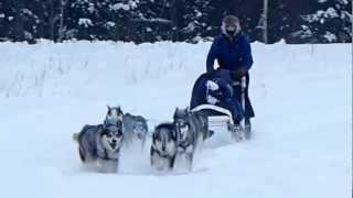アラスカンハスキー犬が曳く犬ぞりツアー 帰ってきた犬たち フェアバン...
