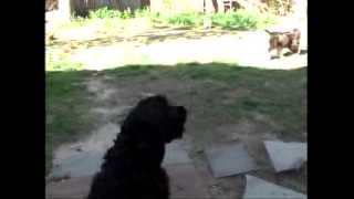 Silly Cute Black Cocker Spaniel Barking Left And Right While On Guard Duty