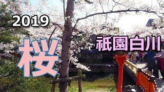 京都 祇園白川の桜☆散策!2019
