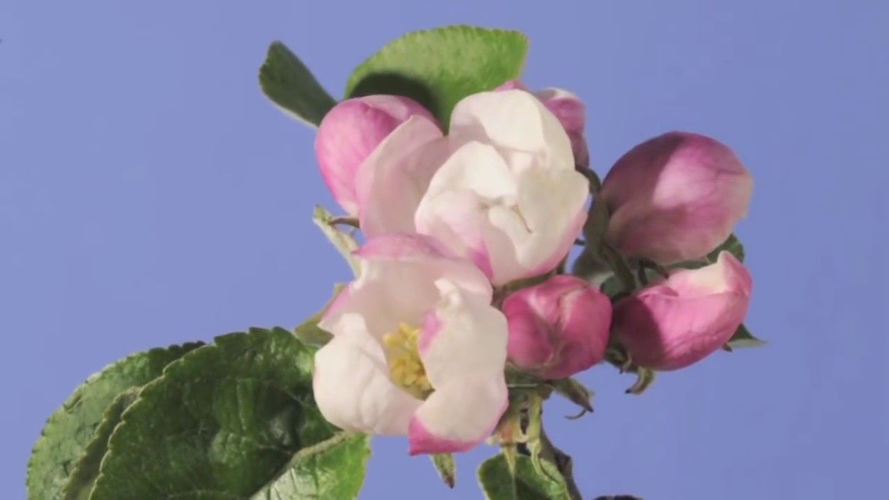 HD Time Lapse Video Of A Cherry Fruit Tree Flower Growing On A ...