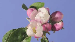 Apple blossom time lapse. Warner