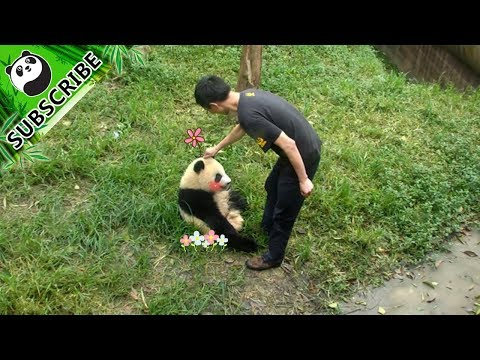 Give a panda a pat on the head and he/she would follow you!